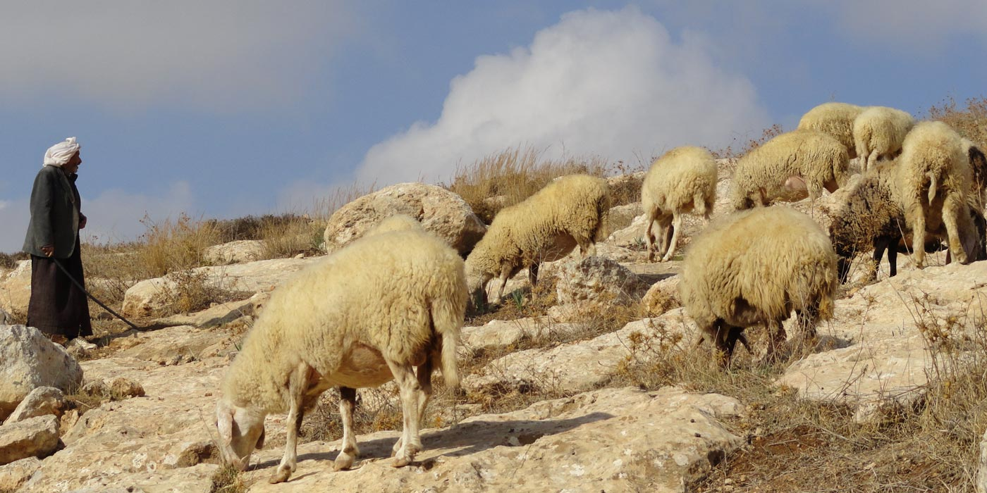 Sheep graze near the site of the Sermon on the Mount